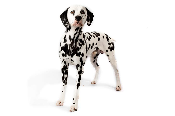 Great Pictures Background Dalmation