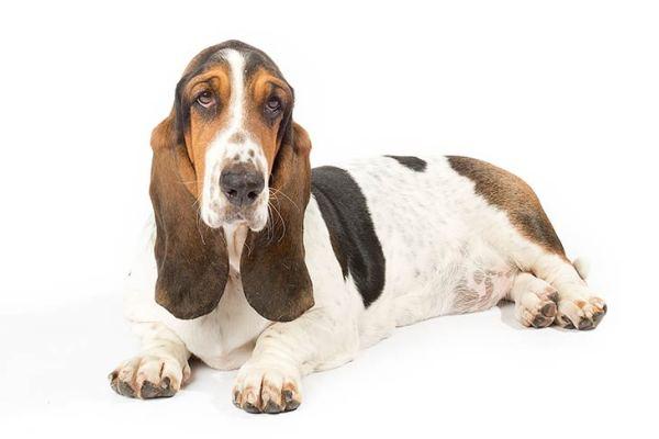 Basset Hound Dog Breed Information