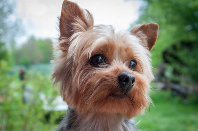 Image result for Yorkshire Terrier