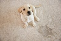 How to Stop a Puppy From Peeing on the Rug  Ask Our Trainers