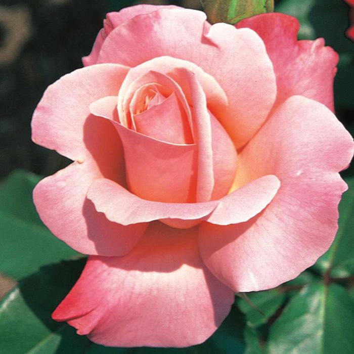 Color Magic Hybrid Tea Rose Award Winning Roses: Edmunds ...