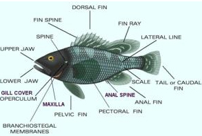 Haddock fish identification