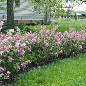 josee reblooming lilac hedge