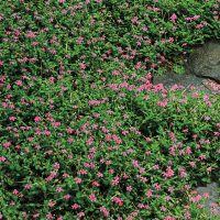 Magic Carpet Thyme | Spring Hill Nurseries