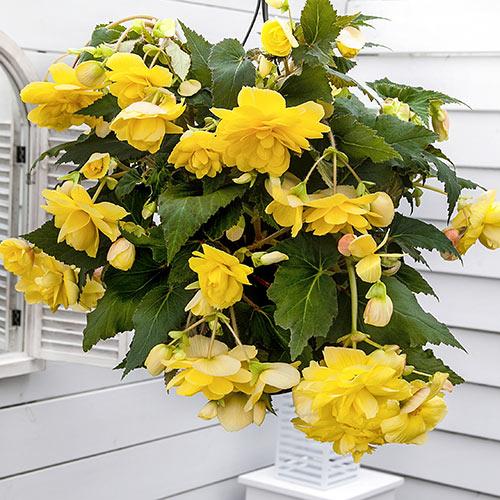 Double Hanging Basket Begonias Yellow  K van Bourgondien
