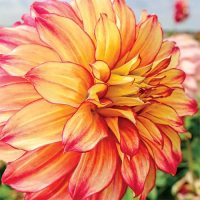 Giant Dinnerplate Dahlia Lady Darlene