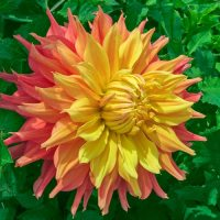 Dinner Plate Dahlia Touch of Autumn