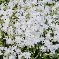 White Carpet Phlox | Michigan Bulb Company