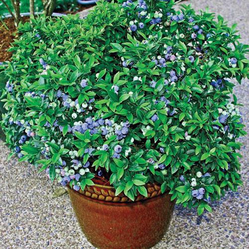 patio blueberry bush 63080 michigan bulb