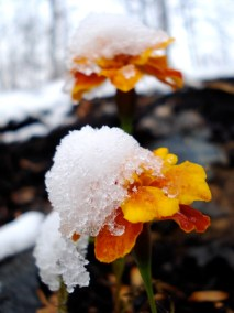 marigold-in-snow