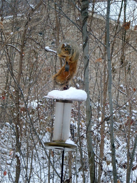 squirrel-on-birdfeeder