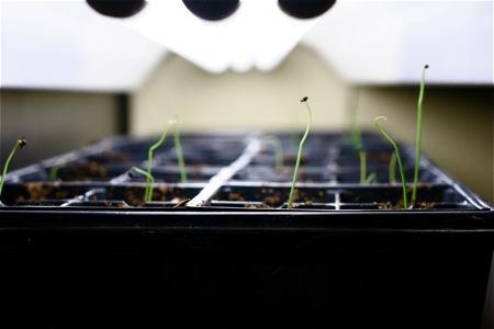 onion-seedlings-under-grow-light