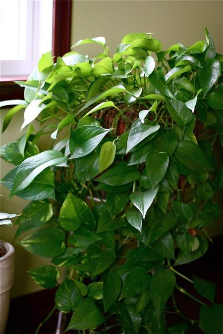 pothos-houseplant