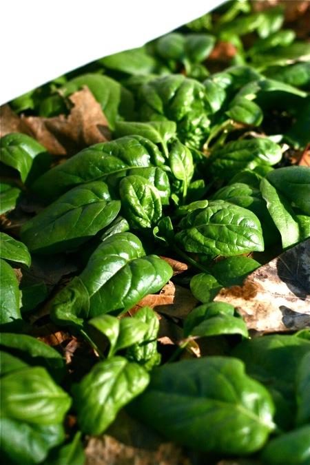 spinach-in-garden