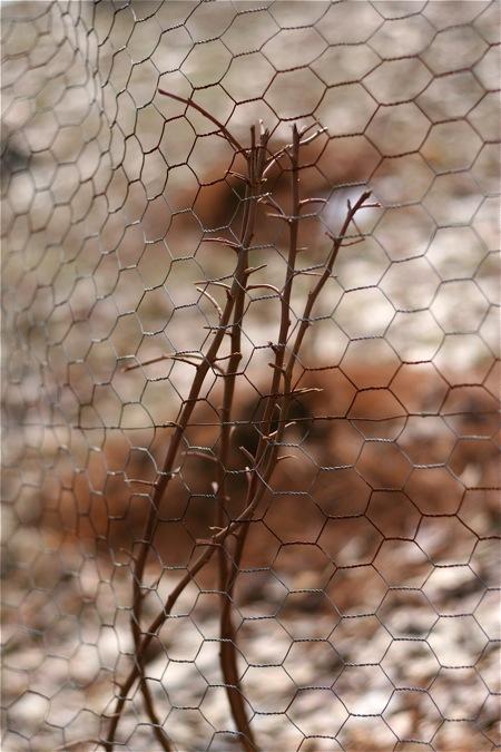 fenced-blueberry-bushes