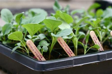 broccoli-seedlings