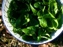 small-spinach-harvest