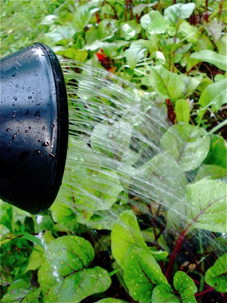 watering-the-beets1