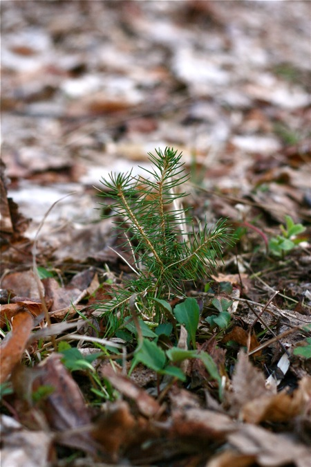 volunteer-pine-tree