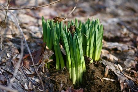 daffodils-emerging