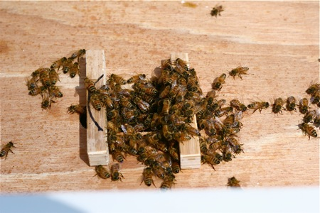 bees-clustering