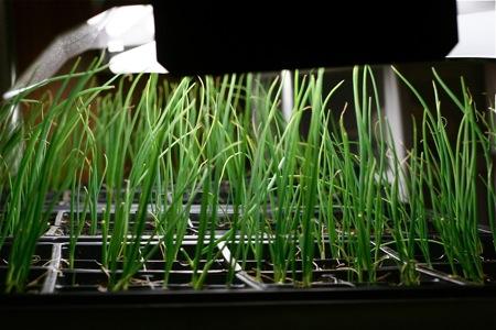onion-seedlings-under-lights