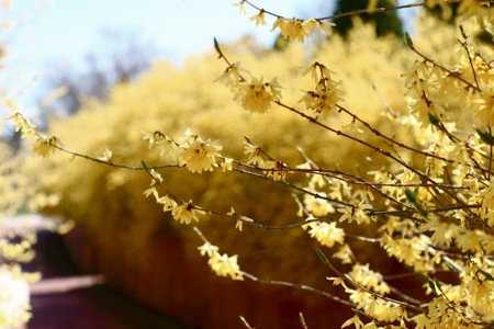 forsythia-hedge1