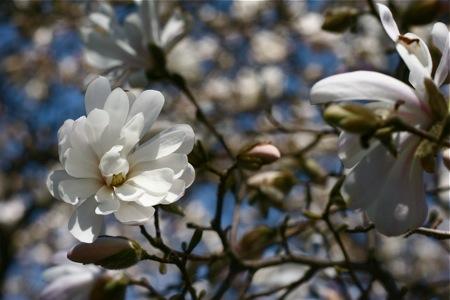 star-magnolia-blossom