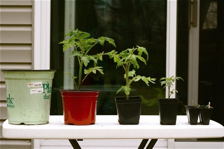 different-sizes-of-tomatoes