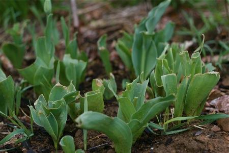 deer-eaten-tulips