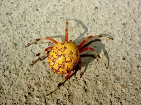 yellow-spider