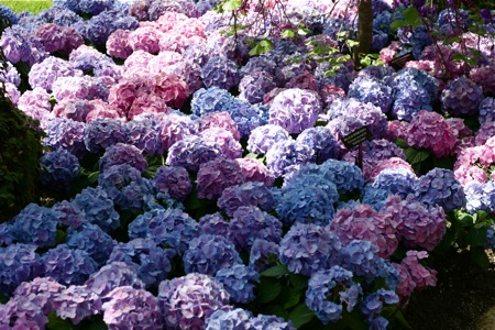 sea-of-hydrangea-blossoms