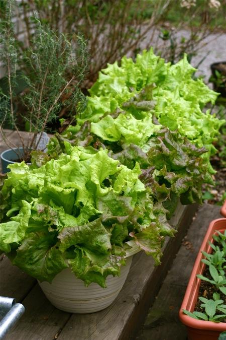 lettuce-in-pots