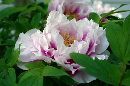 pink-tree-peony-blossom1