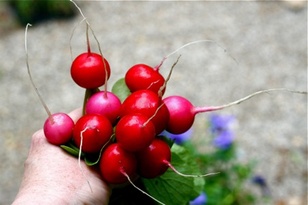 washed-radishes