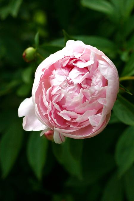 light-pink-peony
