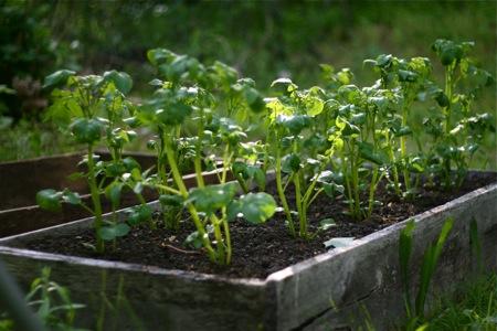 potatoes-growing