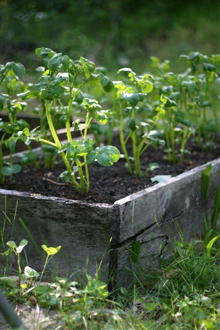 potatoes-growing-in-raised-bed