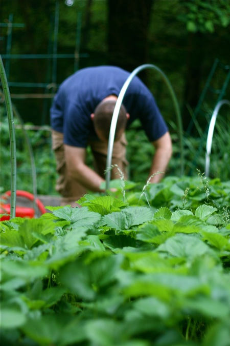 picking-strawberries2