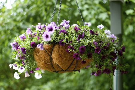 Purple Petunias in hanging basket