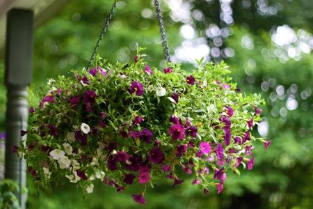 hanging basket of superbells 2