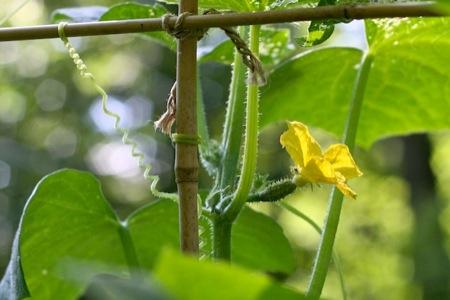 baby_cucumber