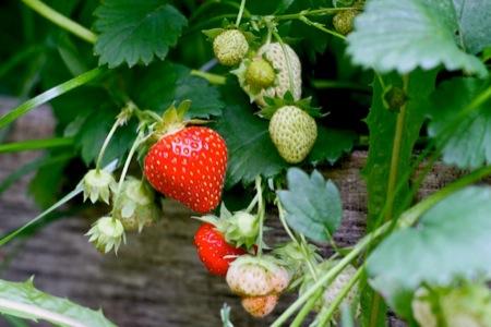 strawberry_on_the_vine