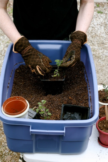 Repotting_Seedlings