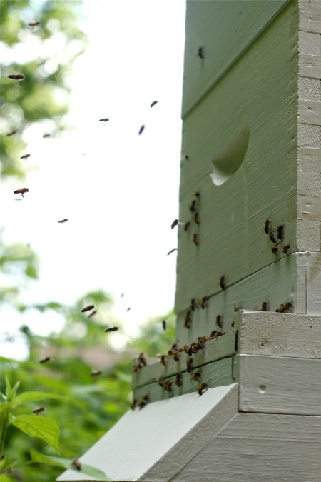Bees_going_in_hive