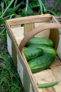 Picking_cucumbers