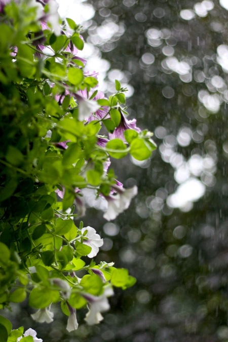 Petunias_in_Rain