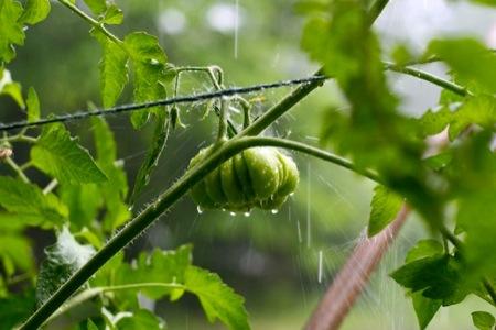 Tomato_in_rain