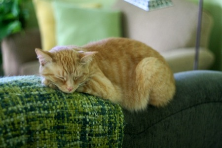 Orange_cat_sleeping