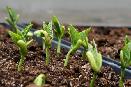 Bean_Seedlings